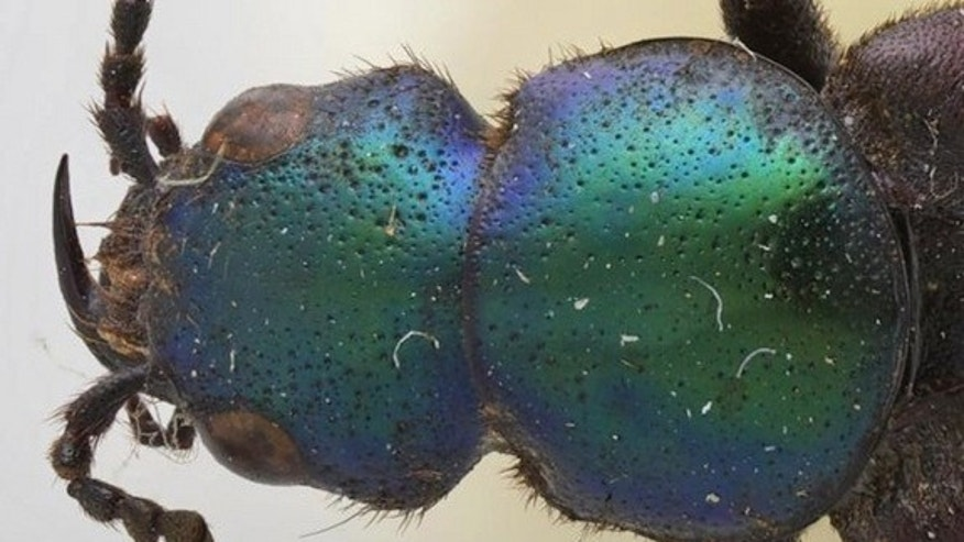 A close up of the colorful beetle species Darwinilus sedarisi.