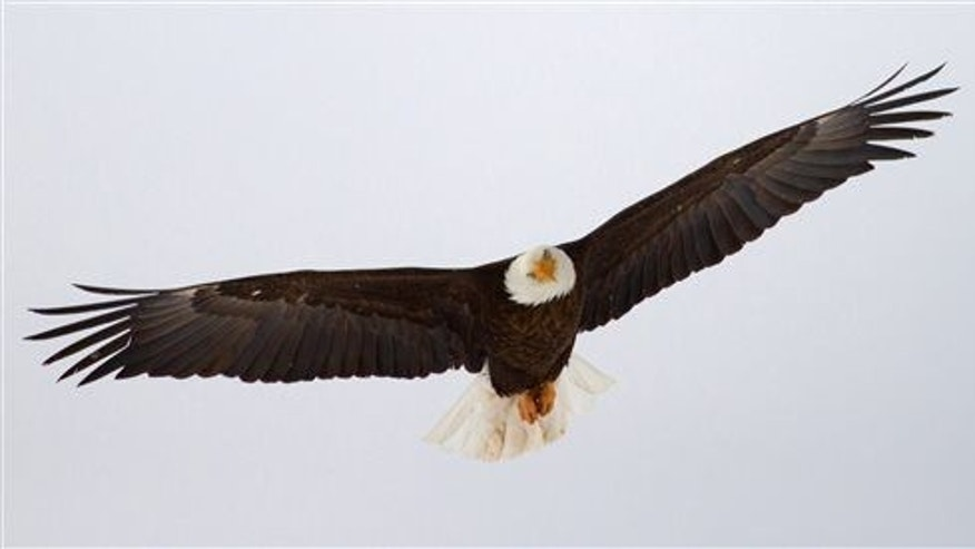 A bald eagle flies in Utah.