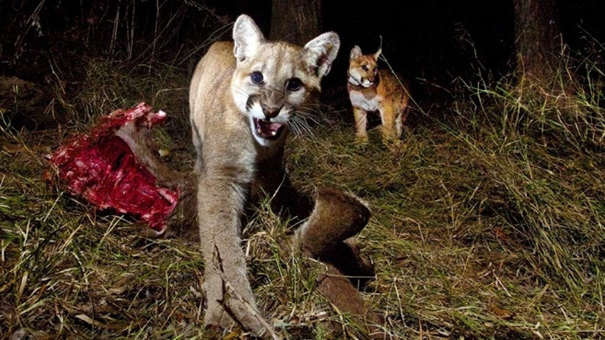 EDITORS NOTE GRAPHIC CONTENT - This Thursday Feb. 20, 2014 photo released by the National Park Service shows pictures from a remote camera in the Santa Monica Mountains National Recreation Area that recently captured photos of a mountain lion identified as P-13 and her 10-month-old kittens, P-28 and P-30, feeding on a kill in Malibu Creek State Park, Calif. The three of them spent two nights sharing their meal of mule deer. (AP Photo/National Park Service)