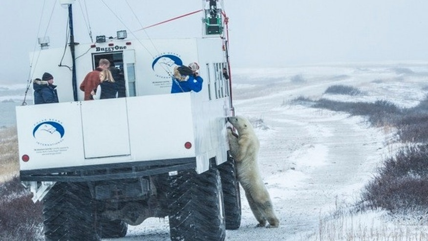 """Buggy love"": A polar bear checks out the Google Street View tundra buggy."