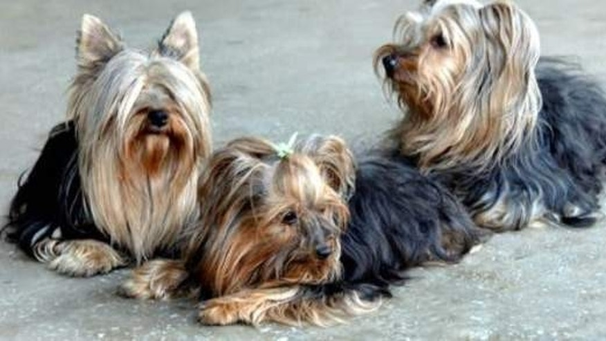 Yorkshire Terriers have joined the list of animals at a North Korean zoo.