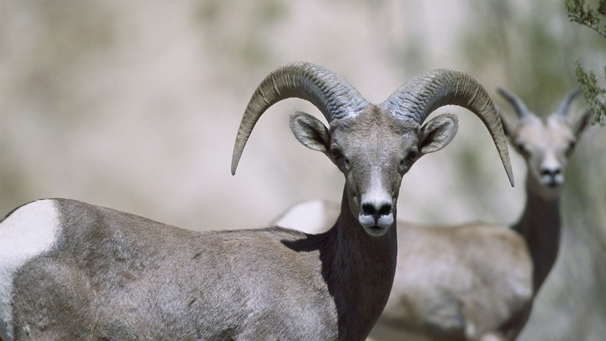 Feb. 27, 2006: Bighorn sheep are pictured in Montana.