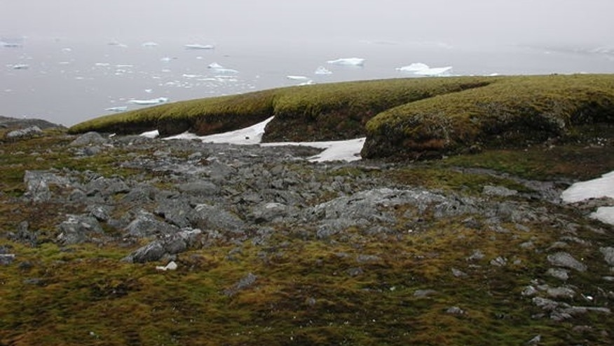 Moss growing on Signy Island offshore of Antarctica.