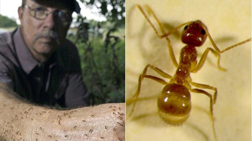"Tom Rasberry, a Houston-area exterminator, is credited with the discovery of the ""Rasberry Crazy Ant,"" a destructive insect that has spread to 27 Texas counties. (AP)"