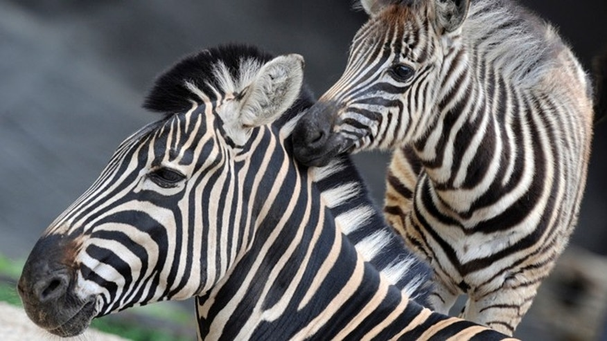 A young zebra and its mother are pictured in their enclosure in Hagenbecks zoo in Hamburg, northern Germany.