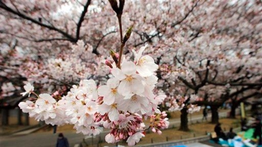File photo of cherry blossoms at Tokyo's Ueno Park.