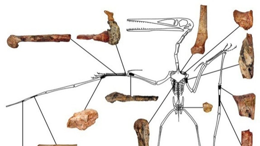 FILE: The fragmentary remains of Kryptodrakon progenitor, the earliest known pterodactyloid flying reptile. skeletal outline is Pterodactylus antiquus reprinted with permission from Peter Wellnhofer.