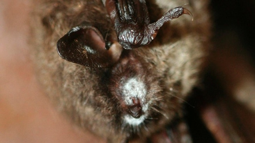 FILE: A hibernating brown bat with a white muzzle typical of white-nose syndrome is seen in this undated handout photograph.