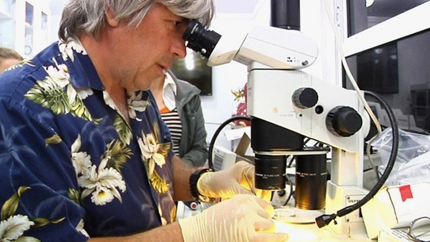 March 30, 2014: In this photo, University of Florida neurobiologist Leonid Moroz looks through a microscope to dissect nerve cells from a mysterious marine creature called a comb jelly, while on board a ship off the coast of Florida.