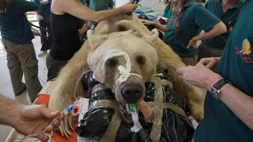 May 7, 2014: Mango, a 19-year-old male Syrian brown bear, rests on a bed as zoo veterinarians and staff prepare him for surgery in the Ramat Gan Zoological Center's animal hospital near Tel Aviv, Israel.