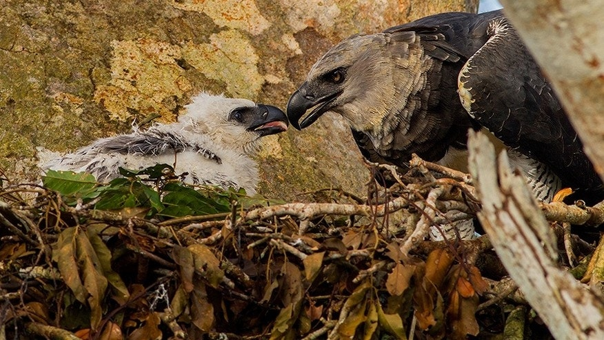 A rare harpy eagle and her chick in the Amazon rainforest.