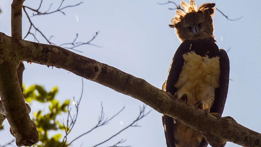The harpy eagle perched on a tree.