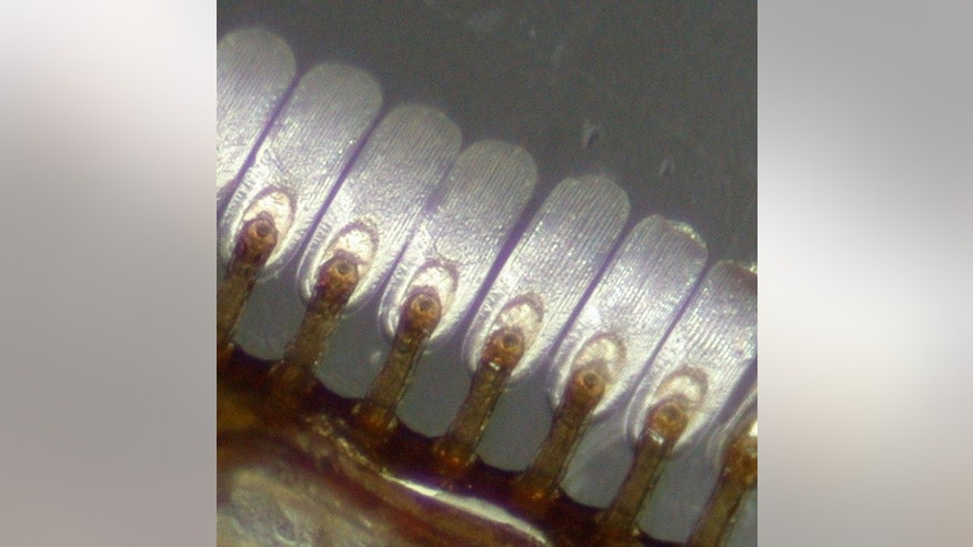 The diving beetle <em>Cybister rugosus</em> has spatula-shaped hairs for grasping onto its mate underwater.