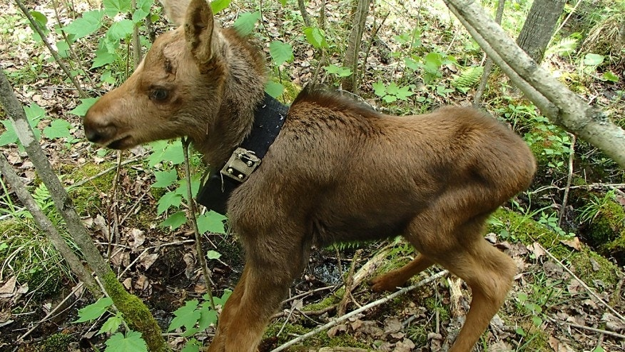 This May 2014 photo provided by the Minnesota Department of Natural Resources, shows a days-old moose calf fitted with an collar that expands as the animal grows taken near Isabella, Minn. Wildlife biologists trying to find answers about northeastern Minnesotas declining moose population were dismayed at how many moose mothers would abandon their calves shortly after researchers attached GPS tracking collars to the newborns. Theyre now cautiously hopeful that theyve found a solution.