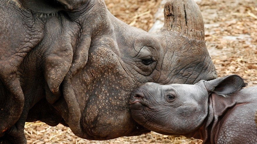 A nine-day old male Indian rhinoceros stands beside his mother at the zoo in Basel. Cincinnati Zoo says a rhino calf born recently in New York was produced by artificial insemination using sperm from a now-dead Cincinnati rhino.