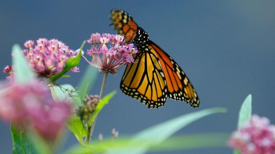 FILE - In this July 22, 2012 file photo, a Monarch butterfly eats nectar from a swamp milkweed on the shore of Rock Lake in Pequot Lakes, Minn. A new study published in the journal Nature Communications suggests that monarch butterflies use an internal magnetic compass to help navigate on their annual migrations from North America to central Mexico. (AP Photo/Ann Heisenfelt, File)