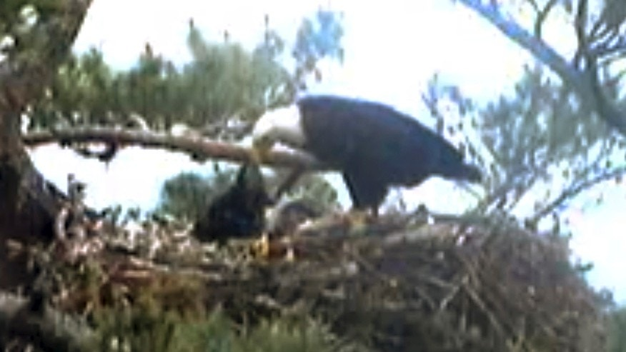 This still image from streaming online video provided by Biodiversity Research Institute shows an adult bald eagle, center, feeding a young eaglet Wednesday afternoon, June 25, 2014 in a nest at an undisclosed location along coastal Maine.