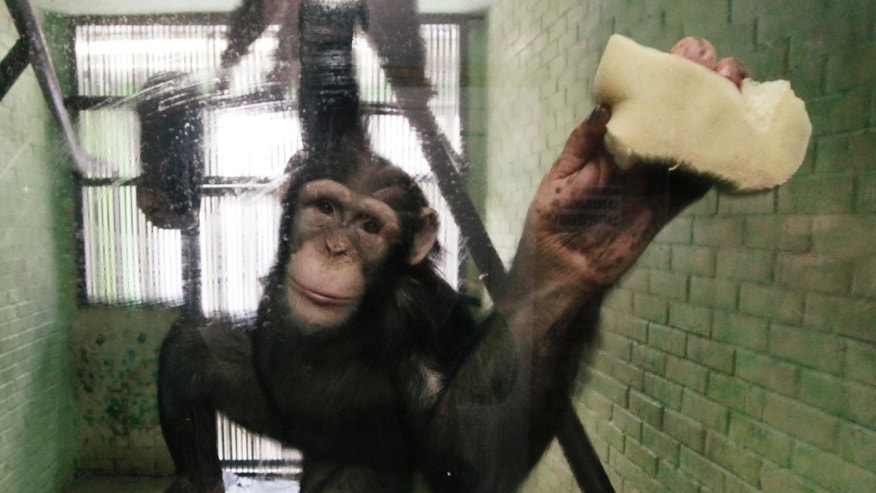 Anfisa, a 8-year-old female chimpanzee, washes a window of her enclosure where she lives at the Royev Ruchey zoo in Krasnoyarsk, Siberia, January 29, 2013.