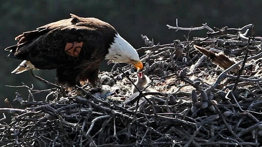This undated image provided by the National Park Service shows an eagle feeds a chick in a nest on the Channel Islands. Officials say bald eagles continue to expand their range in Southern California's Channel Islands, where a nesting pair has been found on San Clemente Island for the first time in more than 50 years. (AP Photo/National Park Service)