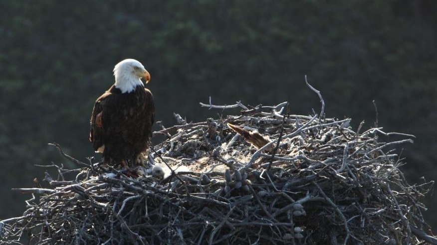 This undated image provided by the National Park Service shows an eagle nest. Officials say bald eagles continue to expand their range in Southern California's Channel Islands, where a nesting pair has been found on San Clemente Island for the first time in more than 50 years. (AP Photo/National Park Service)