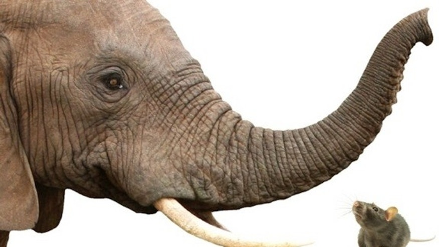 African elephants more olfactory receptors than rats and humans do, and more than any other animal studied to date.