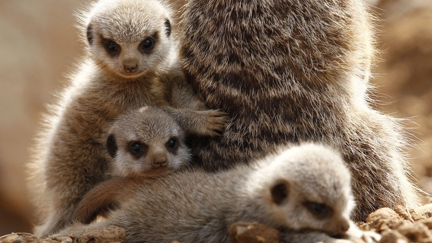 Three baby Meerkats cuddle up to their mother.