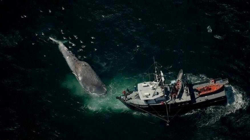 A blue whale killed by a ship collison is examined by Oregon State University researchers aboard their 85-foot vessel, the Pacific Storm.