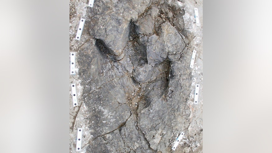 Three trackways made by tyrannosaurs have recently been unearthed in Canada. The trackways suggest the giant predators may have been pack hunters