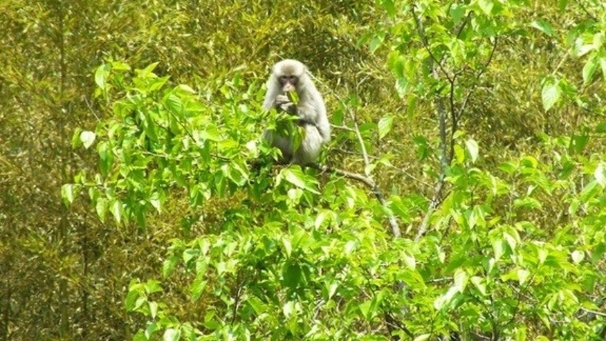 A wild Japanese monkey in Fukushima.