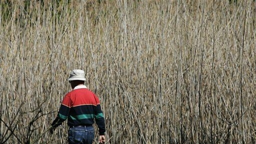 "A man walks past last year's growth of Phragmites, also known as ""Giant Reed,"" in this Sunday, May 13, 2007 file photo, at Maumee Bay State Park in Oregon, Ohio."