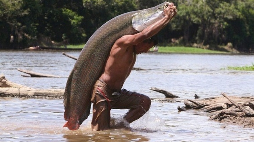 The arapaima fish, native to the Amazon River basin, can weigh as much as 400 pounds (180 kilograms).