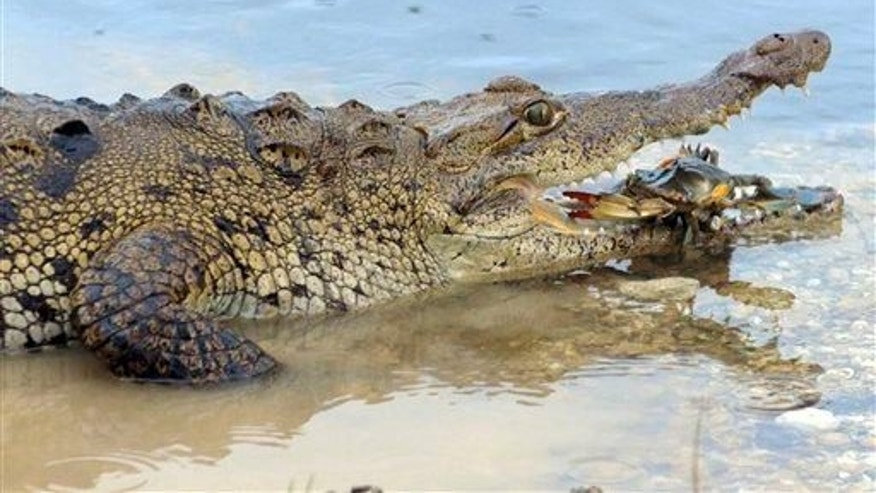 "In this undated photo provided by the National Geographic Channels, an American crocodile prepares to eat a blue crab in ""Florida Untamed."""