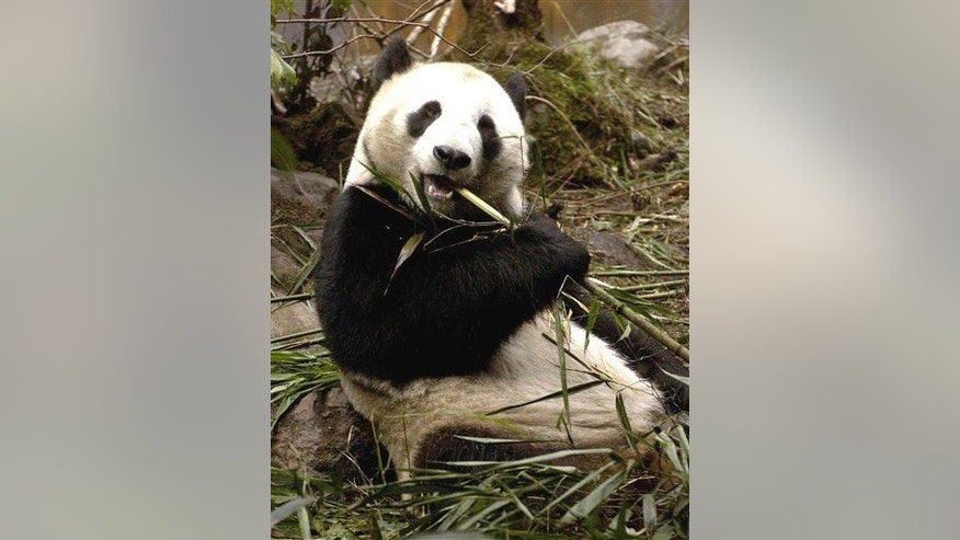 A giant panda eats bamboo at the Wolong National Nature Reserve in Chengdu.
