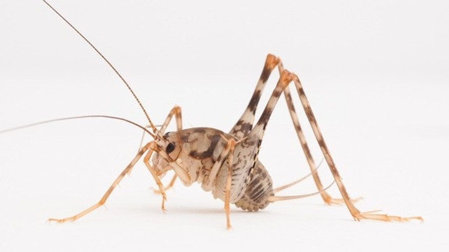 Greenhouse camel crickets, like the one shown here, are native to Asia but now widespread in the eastern United States.