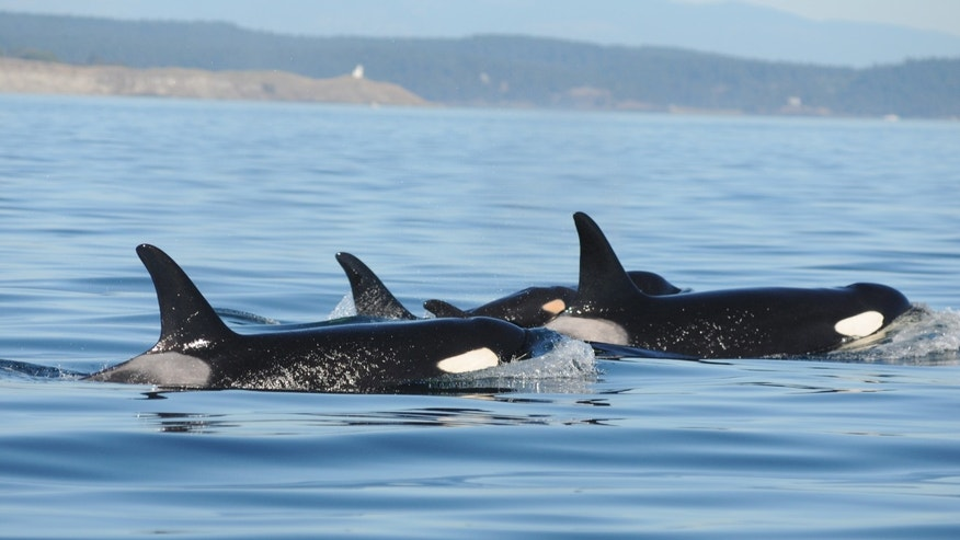 A baby orca swims with two adults in the waters of Puget Sound near Seattle, Wash.