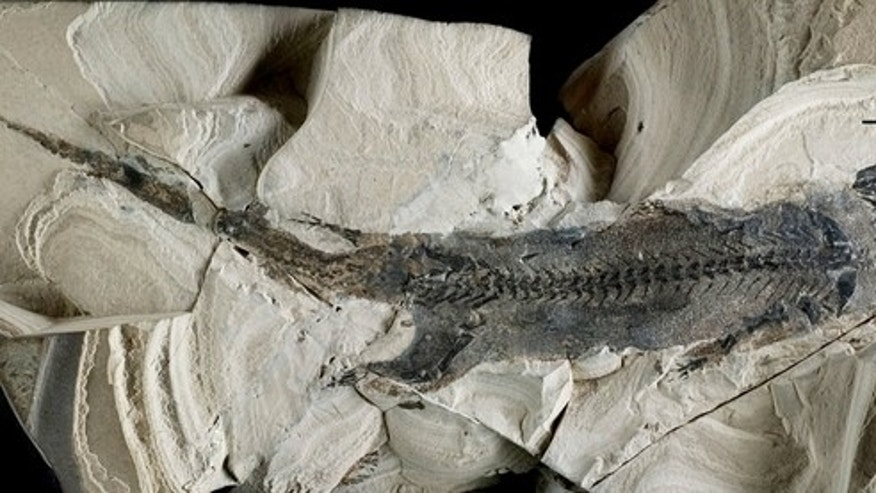 A fossil of the primitive amphibian <em>Micromelerpeton credneri</em> from Lake Odernheim in southwest Germany is so well preserved that features such as external gills and scales can be seen.
