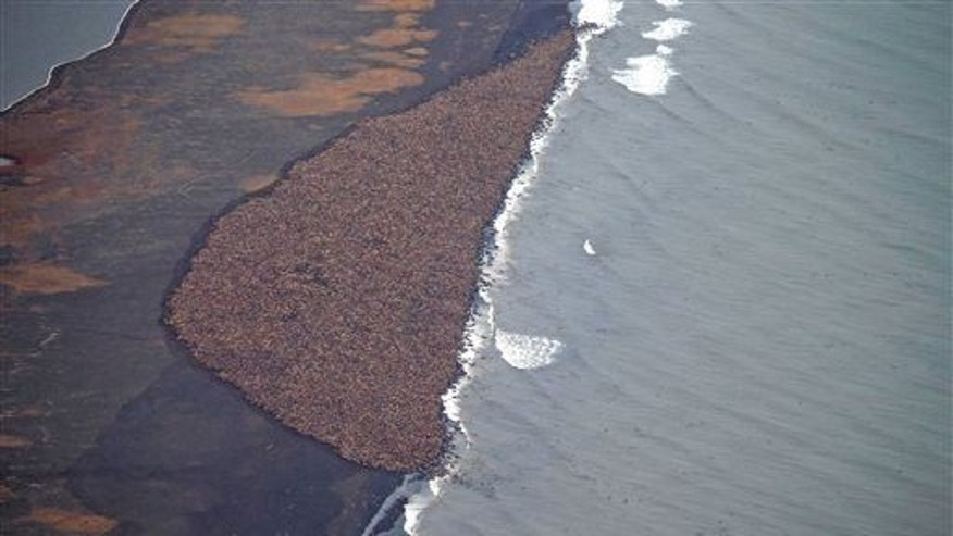 In this aerial photo taken on Sept. 27, 2014, and provided by NOAA, some 35,000 walruses gather on the shore near Point Lay, Alaska.