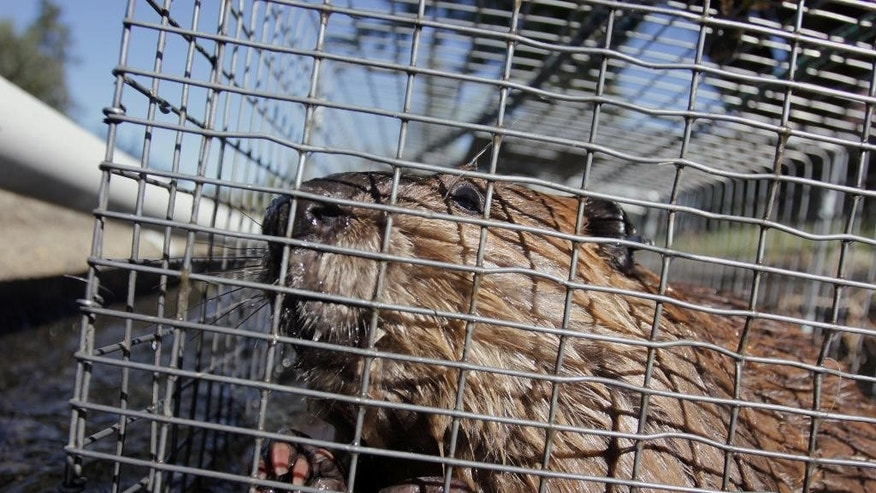 In this Sept. 12, 2014, photo, a young beaver looks out from a cage at a holding facility in Ellensburg, Wash. Under a program in central Washington, nuisance beavers are being trapped and relocated to the headwaters of the Yakima River where biologists hope their dams help restore water systems used by salmon, other animals and people. (AP Photo/Manuel Valdes)