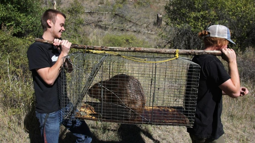 In this Sept. 12, 2014, photo, Brad Bonner and Garrett Pittis transport a 50-pound male beaver nicknamed Quincy to a creek near Ellensburg, Wash. Under a program in central Washington, nuisance beavers are being trapped and relocated to the headwaters of the Yakima River where biologists hope their dams help restore water systems used by salmon, other animals and people. (AP Photo/Manuel Valdes)