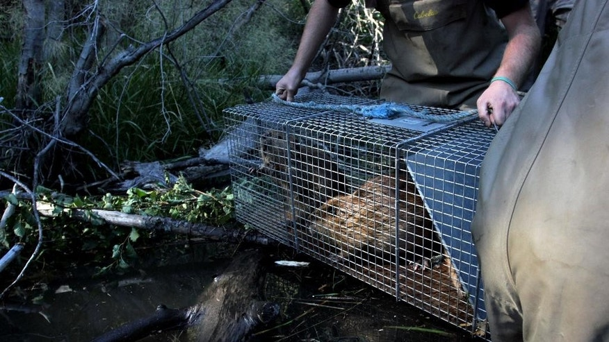 In this Sept. 12, 2014, photo, Mid-Columbia Fisheries Enhancement Group staffer Garrett Pittis holds a cage with a young beaver during the relocation of a family of beavers near Ellensburg, Wash., after he and his family were relocated by a team from the Mid-Columbia Fisheries Enhancement Group. Under a program in central Washington, nuisance beavers are being trapped and relocated to the headwaters of the Yakima River where biologists hope their dams help restore water systems used by salmon, other animals and people. (AP Photo/Manuel Valdes)