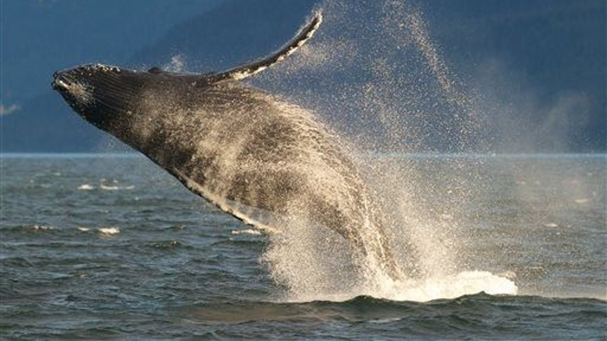 In this Wednesday, July 9, 2014 photo, an adult humpback whale breaches near Juneau, Alaska. The humpback whale is a species of baleen whale.