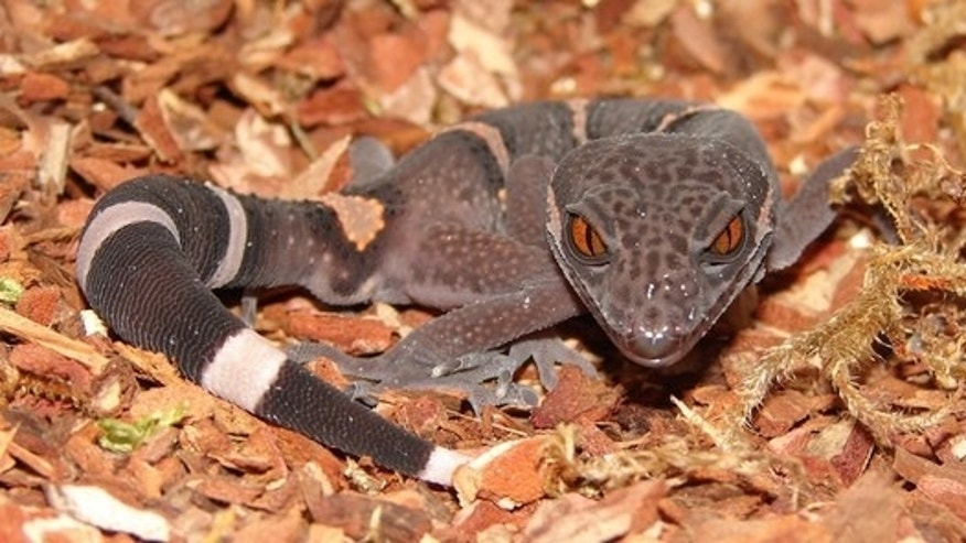 Scaled reptiles, such as this Chinese gecko, have longer lives if they skip sex when they're young.