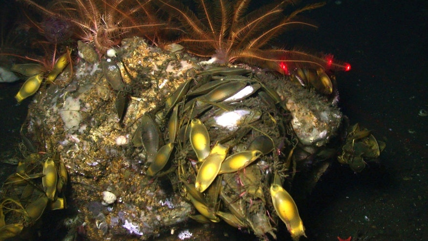 "This photo released by the National Oceanic and Atmospheric Administration shows a catshark egg nest showing yellow ""mermaids purses,"" which are sacs containing eggs."