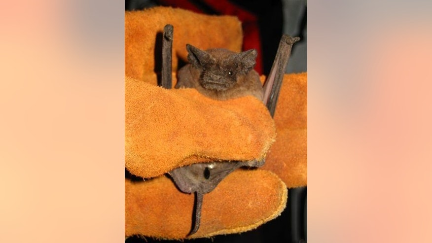 File photo of a Mexican free-tailed bat.