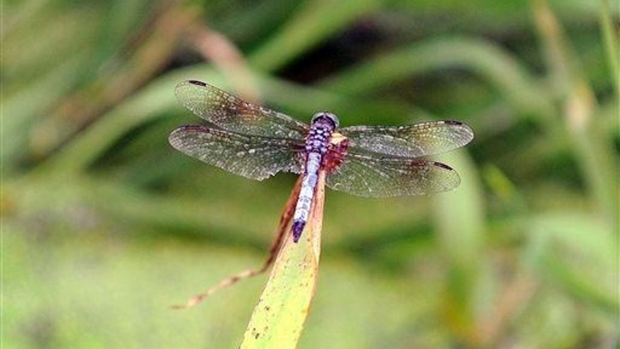 A Dragonfly sits on pond grass while at Glenmere Park in Greeley, Colo., Monday, July, 14, 2014.