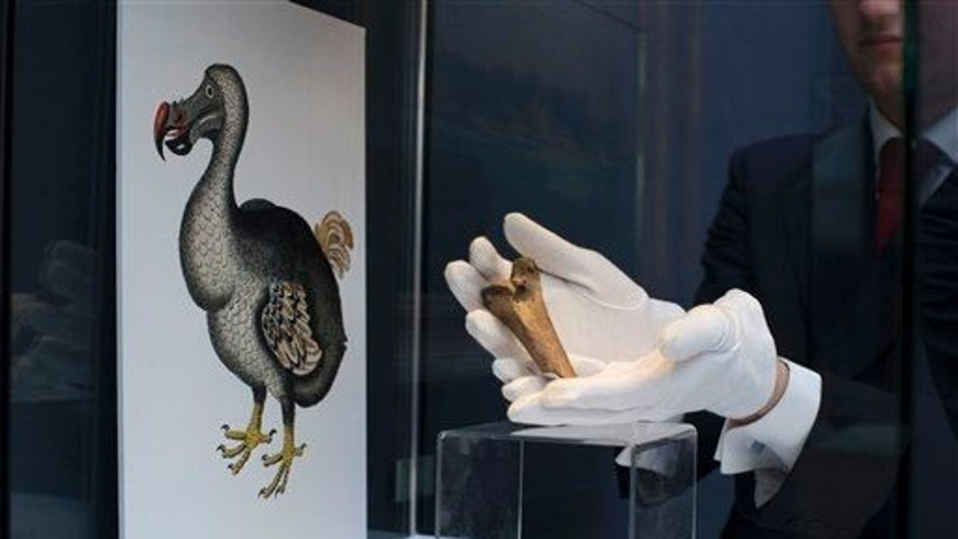 A rare fragment of a Dodo femur bone is displayed for photographs next to an image of a member of the extinct bird species at Christie's auction house's premises in London.