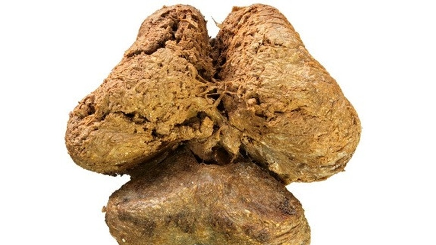 The brain from the mummified woolly mammoth carcass in dorsal view.