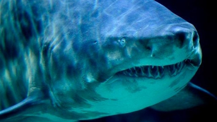 Fisherman found human remains inside a huge shark.