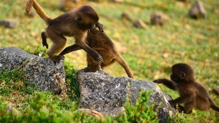 Baby Gelada baboons play in the Simien Mountains of Ethiopia in this November 30 2012 picture.