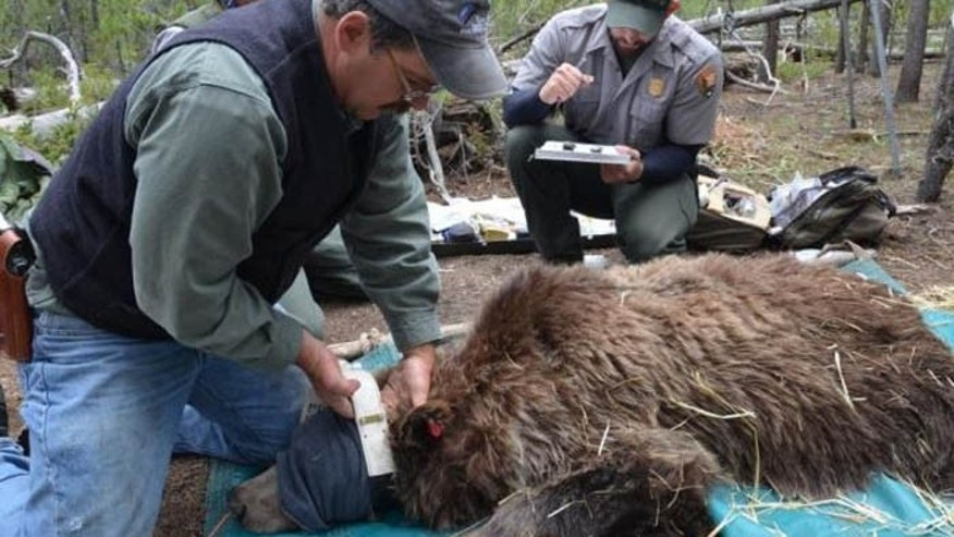 Wildlife officials put GPS tracking devices on eight bears in the Grand Teton National Forest. (USGS)